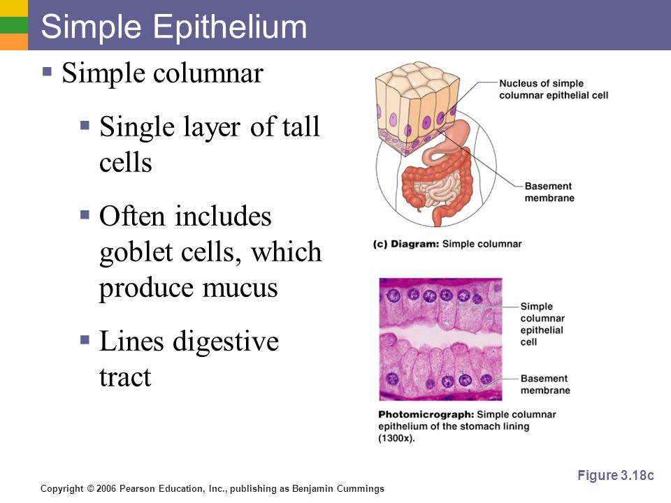 Copyright © 2006 Pearson Education, Inc., publishing as Benjamin Cummings Simple Epithelium  Simple columnar  Single layer of tall cells  Often includes goblet cells, which produce mucus  Lines digestive tract Figure 3.18c