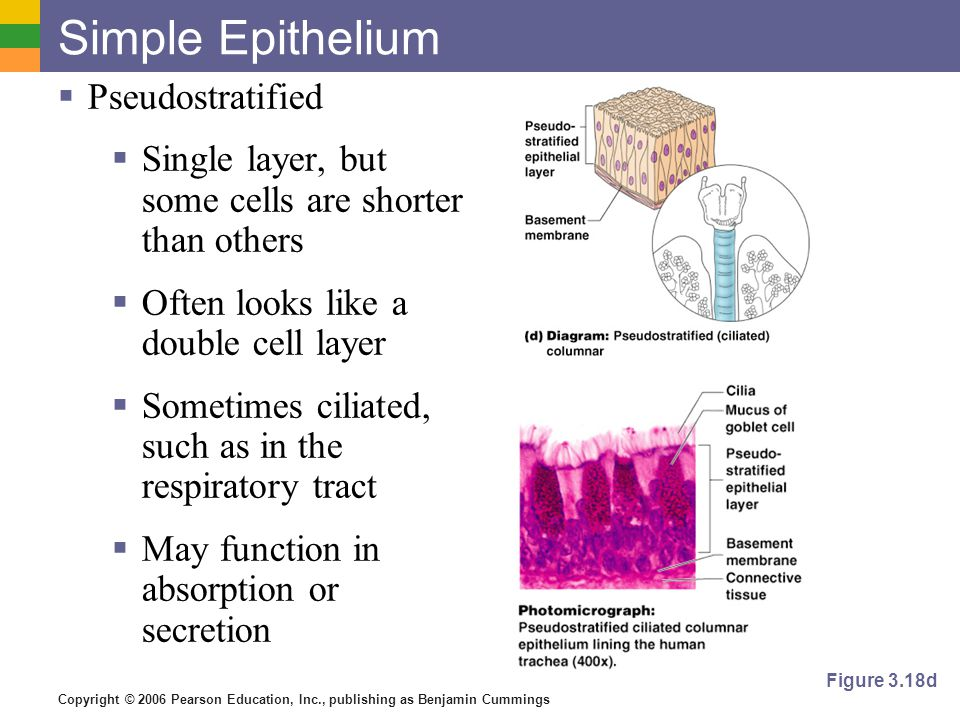 Copyright © 2006 Pearson Education, Inc., publishing as Benjamin Cummings Simple Epithelium  Pseudostratified  Single layer, but some cells are shorter than others  Often looks like a double cell layer  Sometimes ciliated, such as in the respiratory tract  May function in absorption or secretion Figure 3.18d