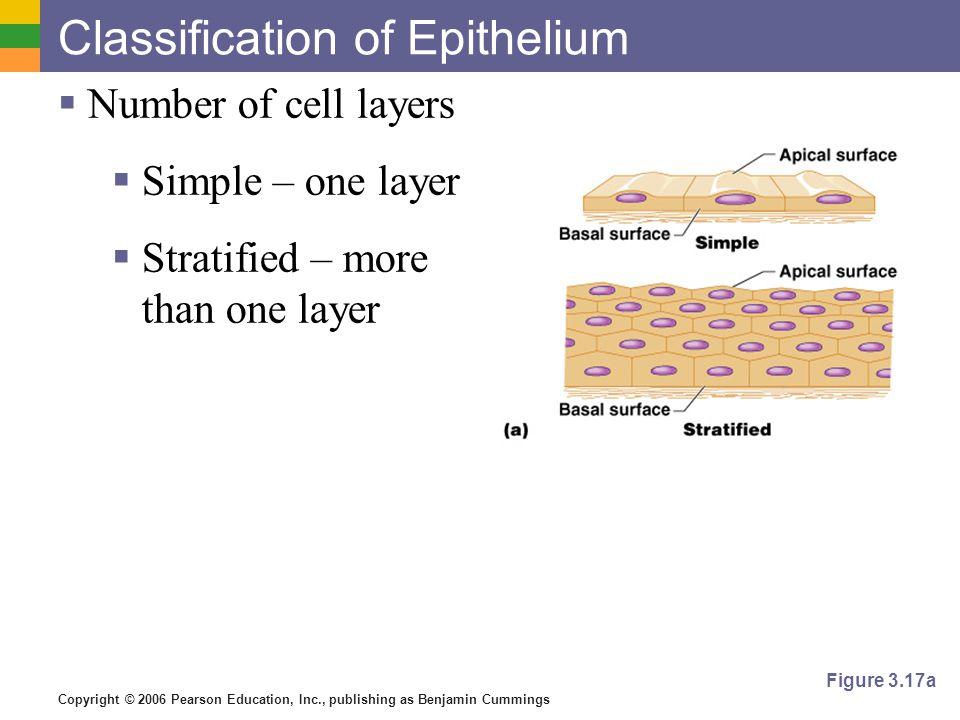 Copyright © 2006 Pearson Education, Inc., publishing as Benjamin Cummings Classification of Epithelium  Shape of cells  Squamous – flattened  Cuboidal – cube- shaped  Columnar – column-like Figure 3.17b