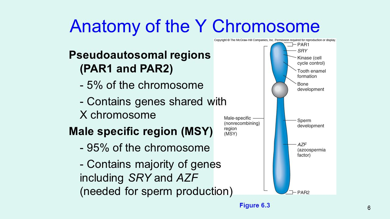 7 SRY Gene Encodes a transcription factor protein Controls the expression of other genes Stimulates male development Developing testes secrete anti-Mullerian hormone and destroy female structures Testosterone and dihydrotesterone (DHT) are secreted and stimulate male structures