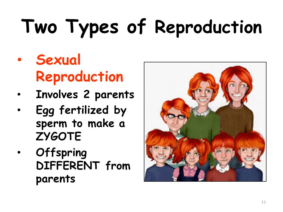 Two Types of Reproduction Sexual Reproduction Involves 2 parents Egg fertilized by sperm to make a ZYGOTE Offspring DIFFERENT from parents 11