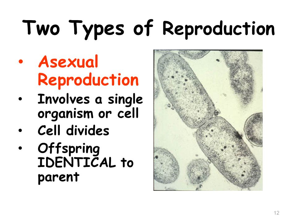 Two Types of Reproduction Asexual Reproduction Involves a single organism or cell Cell divides Offspring IDENTICAL to parent 12