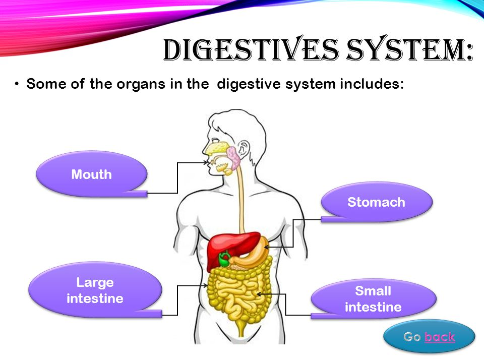 DIGESTIVES SYSTEM: Some of the organs in the digestive system includes: Mouth Stomach Small intestine Large intestine
