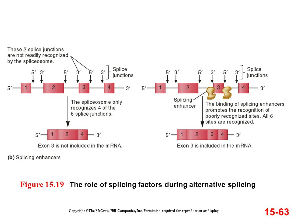 15-63 Copyright ©The McGraw-Hill Companies, Inc. Permission required for reproduction or display Figure 15.19 The role of splicing factors during alte