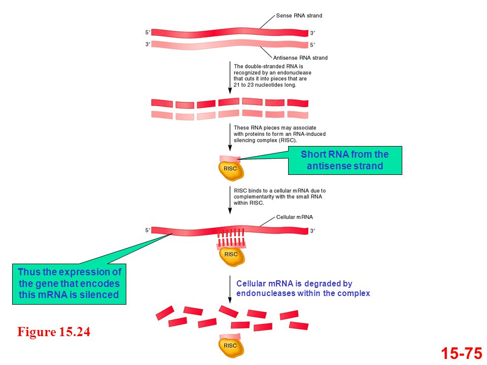 15-75 Figure 15.24 Cellular mRNA is degraded by endonucleases within the complex Short RNA from the antisense strand Thus the expression of the gene t