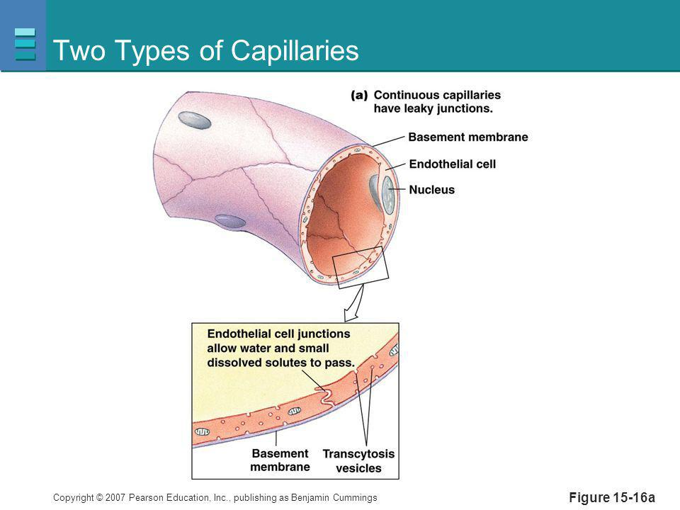 Copyright © 2007 Pearson Education, Inc., publishing as Benjamin Cummings Figure 15-16a Two Types of Capillaries