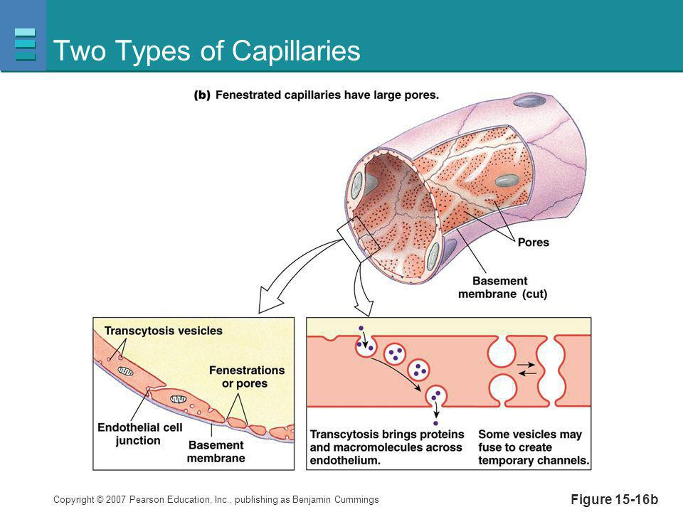 Copyright © 2007 Pearson Education, Inc., publishing as Benjamin Cummings Two Types of Capillaries Figure 15-16b