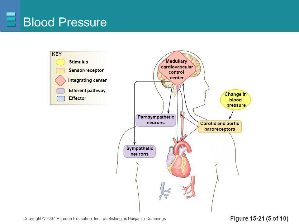 Copyright © 2007 Pearson Education, Inc., publishing as Benjamin Cummings Figure 15-21 (5 of 10) Blood Pressure Medullary cardiovascular control cente