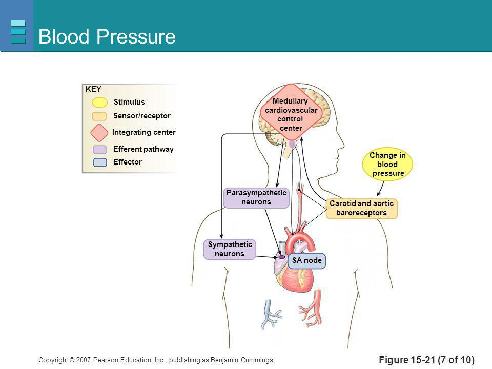 Copyright © 2007 Pearson Education, Inc., publishing as Benjamin Cummings Figure 15-21 (7 of 10) Blood Pressure Medullary cardiovascular control cente