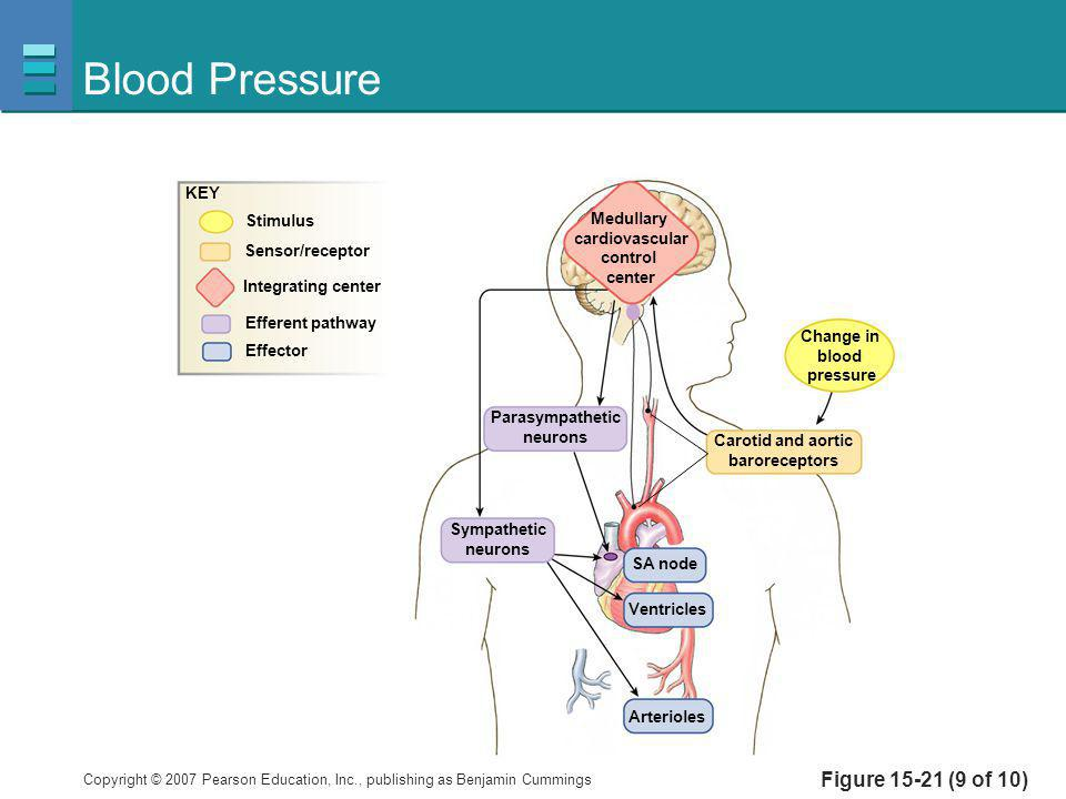 Copyright © 2007 Pearson Education, Inc., publishing as Benjamin Cummings Figure 15-21 (9 of 10) Blood Pressure Medullary cardiovascular control cente