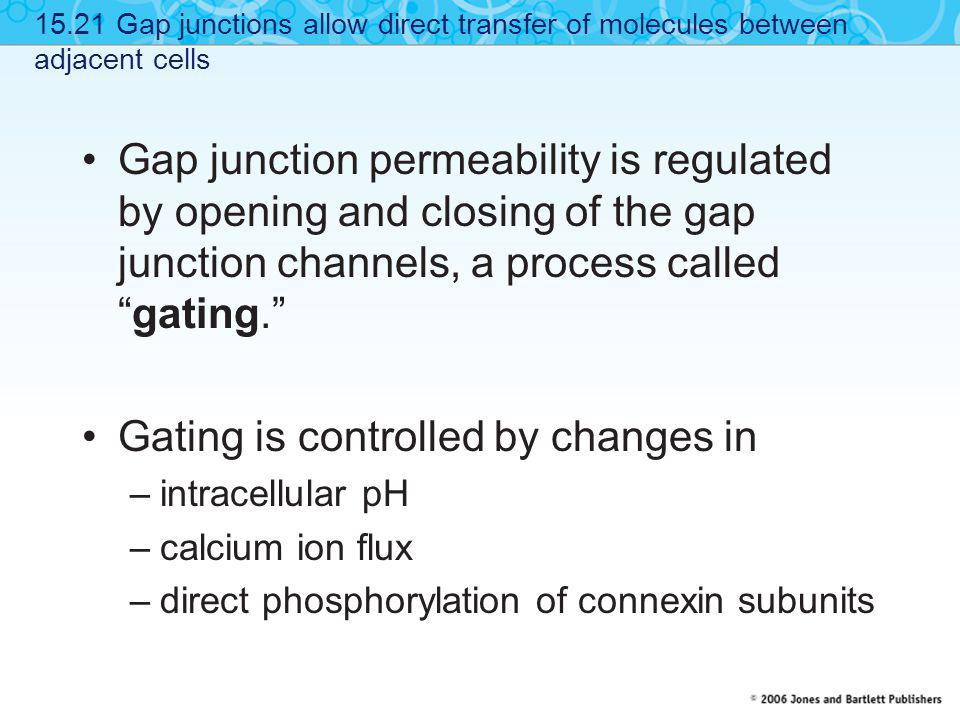 """Gap junction permeability is regulated by opening and closing of the gap junction channels, a process called """"gating."""" Gating is controlled by changes"""