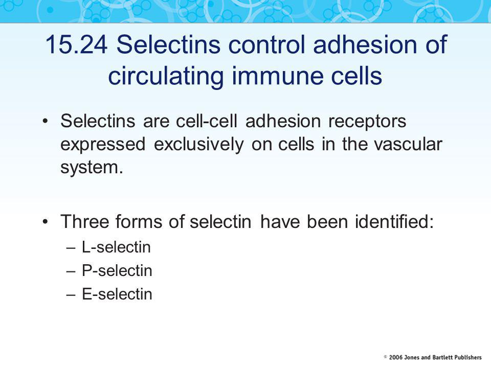 15.24 Selectins control adhesion of circulating immune cells Selectins are cell-cell adhesion receptors expressed exclusively on cells in the vascular