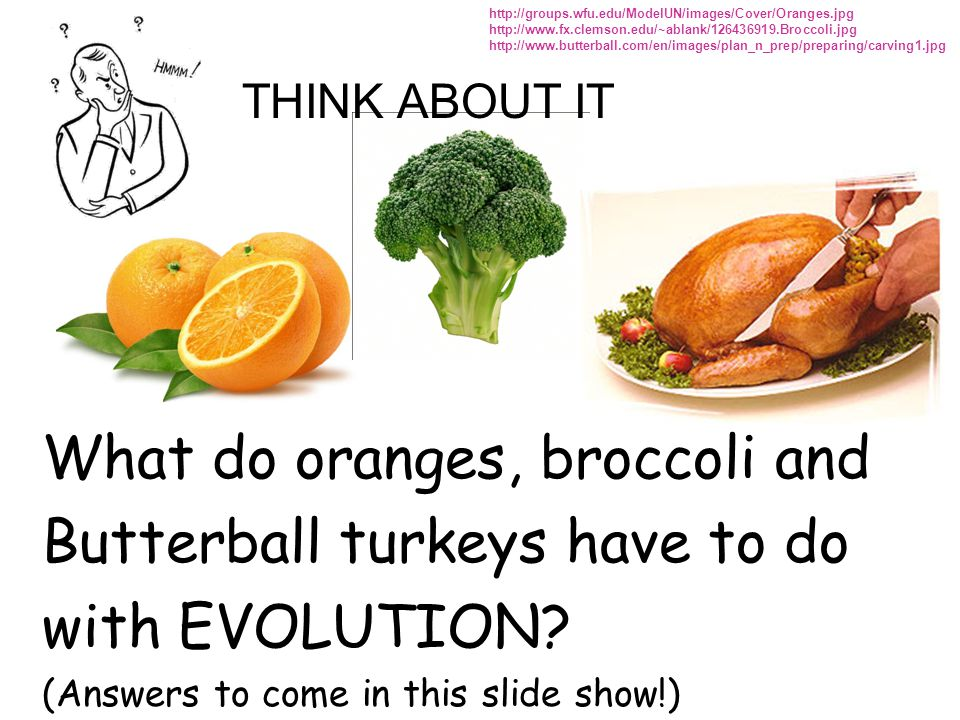 What do oranges, broccoli and Butterball turkeys have to do with EVOLUTION? (Answers to come in this slide show!) http://groups.wfu.edu/ModelUN/images