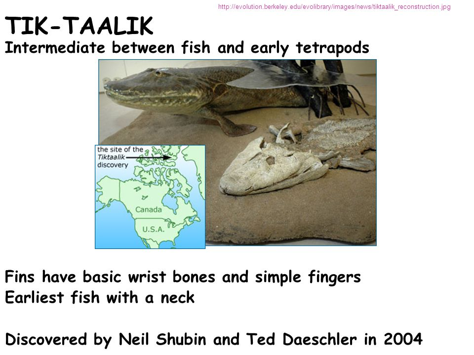 TIK-TAALIK TIK-TAALIK Intermediate between fish and early tetrapods Fins have basic wrist bones and simple fingers Earliest fish with a neck Discovere