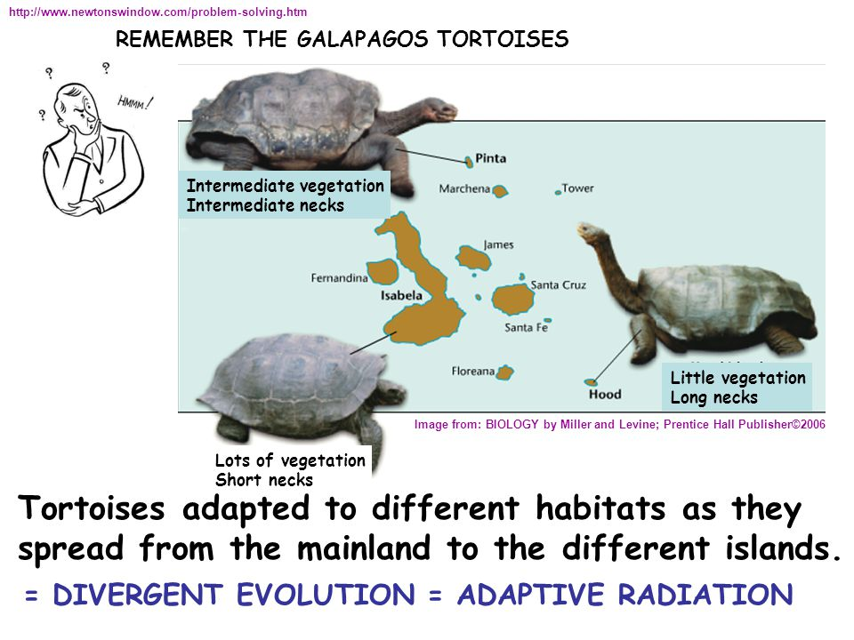 REMEMBER THE GALAPAGOS TORTOISES http://www.newtonswindow.com/problem-solving.htm Image from: BIOLOGY by Miller and Levine; Prentice Hall Publisher©2006 Little vegetation Long necks Lots of vegetation Short necks Intermediate vegetation Intermediate necks Tortoises adapted to different habitats as they spread from the mainland to the different islands.