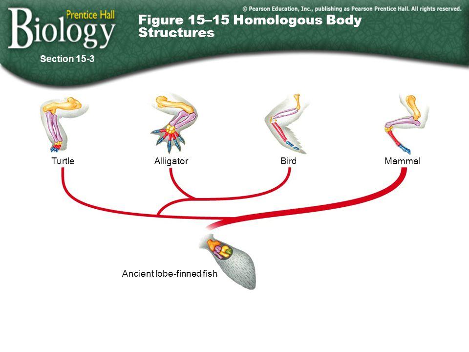 Go to Section: TurtleAlligatorBirdMammal Ancient lobe-finned fish Figure 15–15 Homologous Body Structures Section 15-3