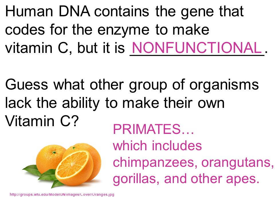 Human DNA contains the gene that codes for the enzyme to make vitamin C, but it is ________________. Guess what other group of organisms lack the abil