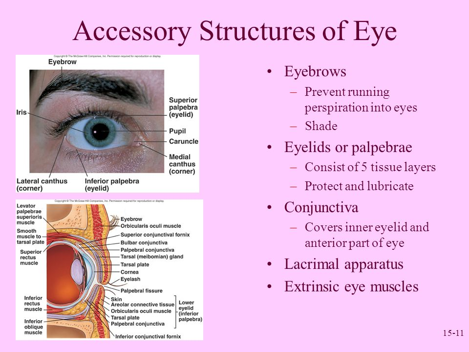15-11 Accessory Structures of Eye Eyebrows –Prevent running perspiration into eyes –Shade Eyelids or palpebrae –Consist of 5 tissue layers –Protect an
