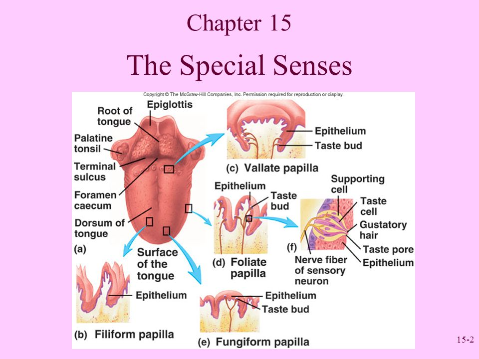 15-2 Chapter 15 The Special Senses