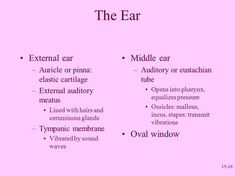 15-26 The Ear External ear –Auricle or pinna: elastic cartilage –External auditory meatus Lined with hairs and ceruminous glands –Tympanic membrane Vi