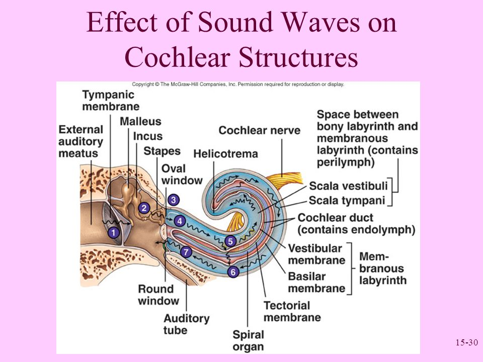 15-30 Effect of Sound Waves on Cochlear Structures