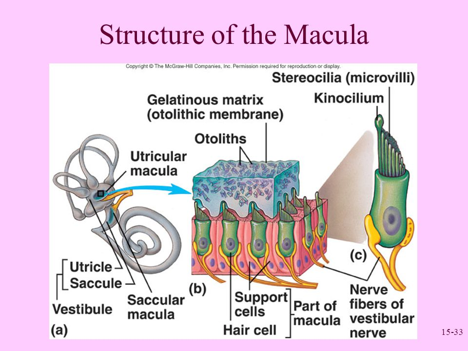 15-33 Structure of the Macula