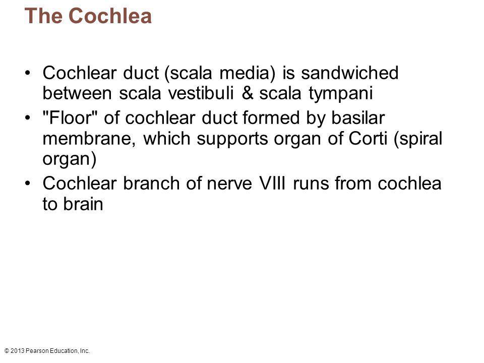 © 2013 Pearson Education, Inc. The Cochlea Cochlear duct (scala media) is sandwiched between scala vestibuli & scala tympani