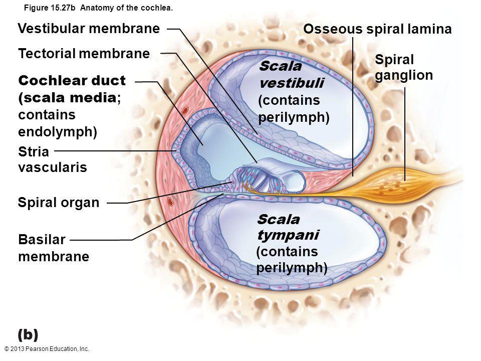 © 2013 Pearson Education, Inc. Figure 15.27b Anatomy of the cochlea. Vestibular membrane Tectorial membrane Cochlear duct (scala media ; contains endo