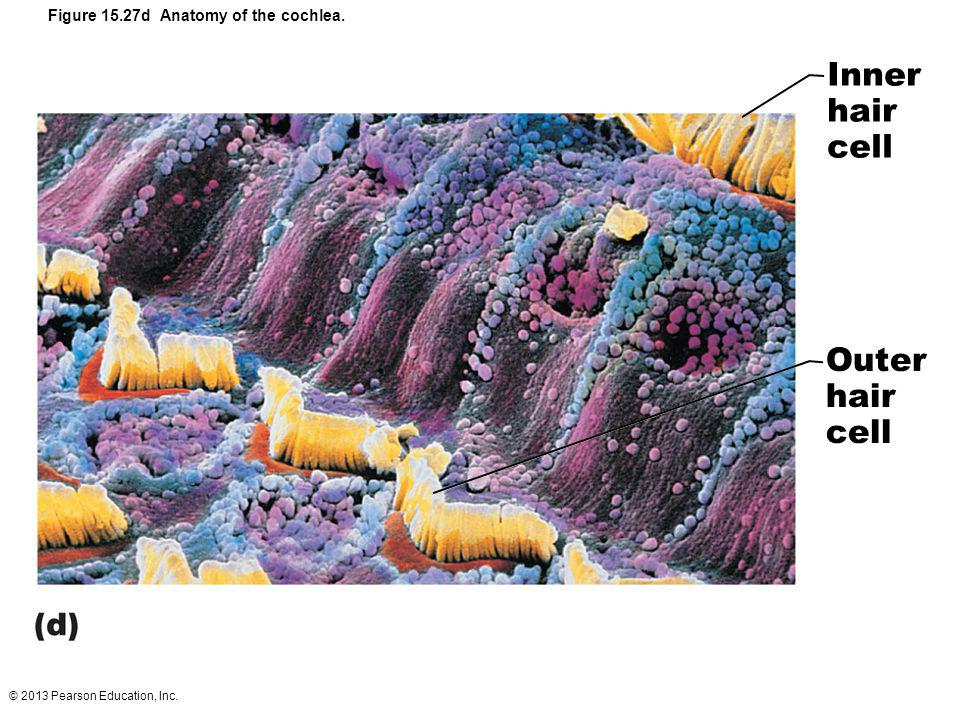 © 2013 Pearson Education, Inc. Figure 15.27d Anatomy of the cochlea. Inner hair cell Outer hair cell