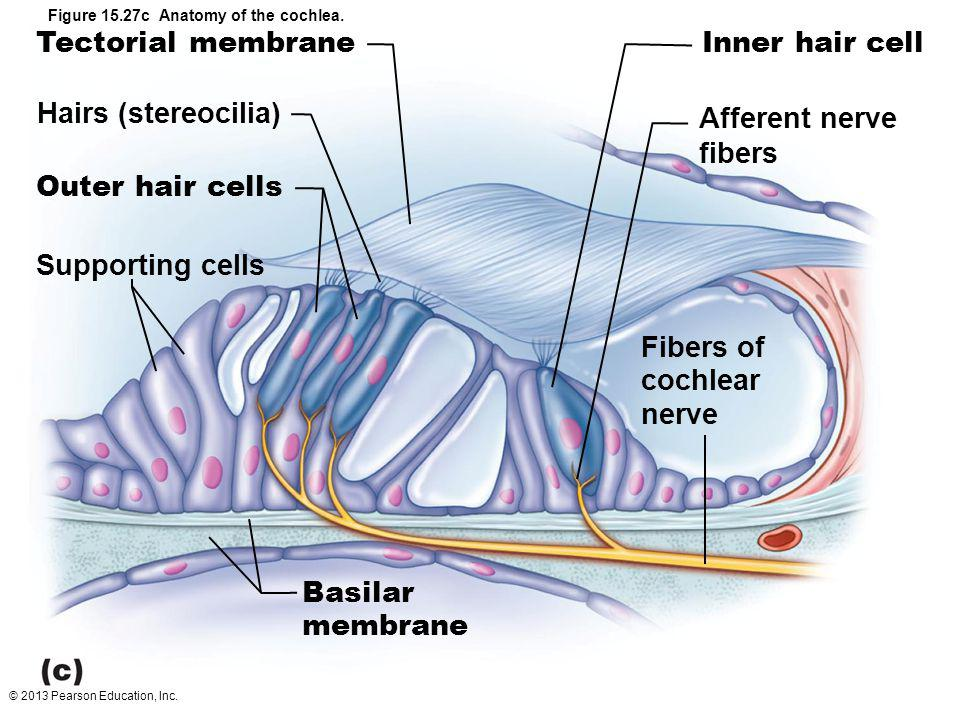 © 2013 Pearson Education, Inc. Figure 15.27c Anatomy of the cochlea. Tectorial membrane Hairs (stereocilia) Outer hair cells Supporting cells Inner ha