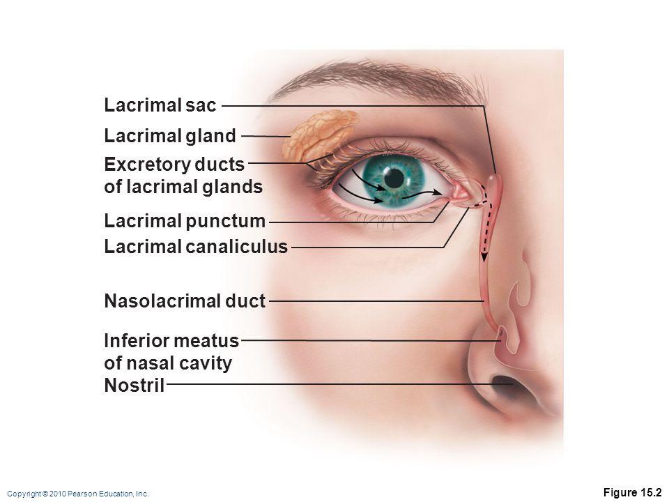 Copyright © 2010 Pearson Education, Inc. Figure 15.2 Lacrimal gland Excretory ducts of lacrimal glands Lacrimal punctum Lacrimal canaliculus Nasolacri