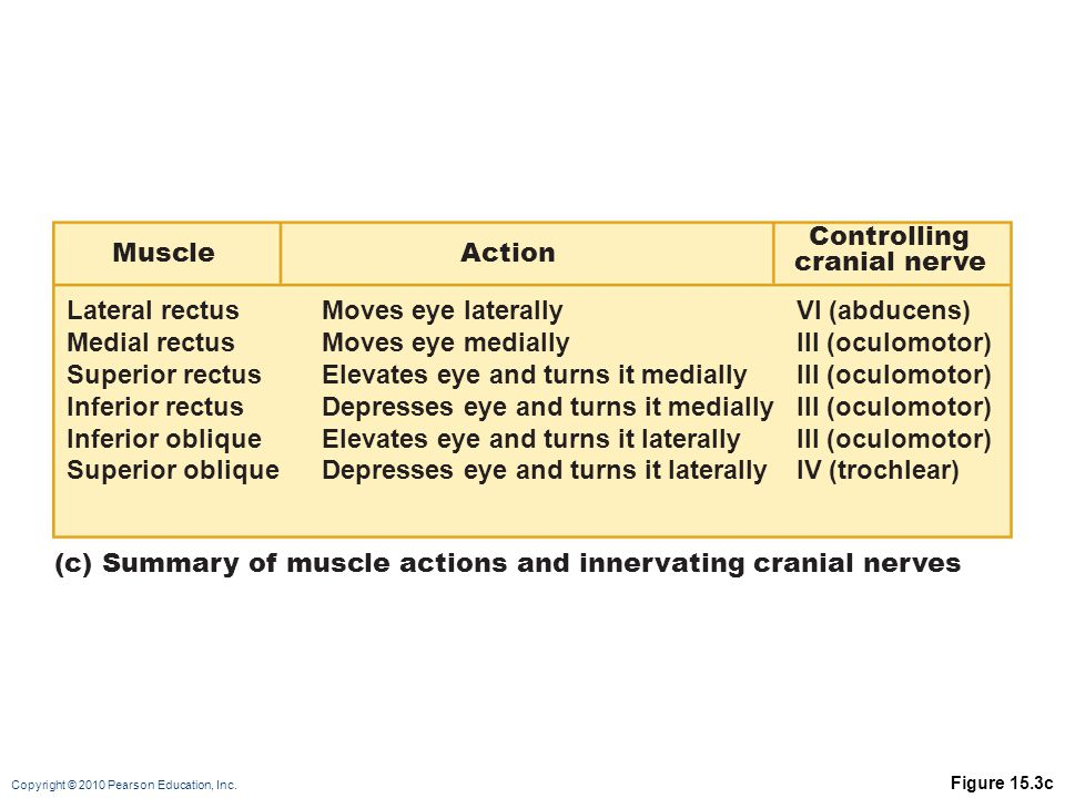 Copyright © 2010 Pearson Education, Inc. Figure 15.3c (c) Summary of muscle actions and innervating cranial nerves Lateral rectus Medial rectus Superi