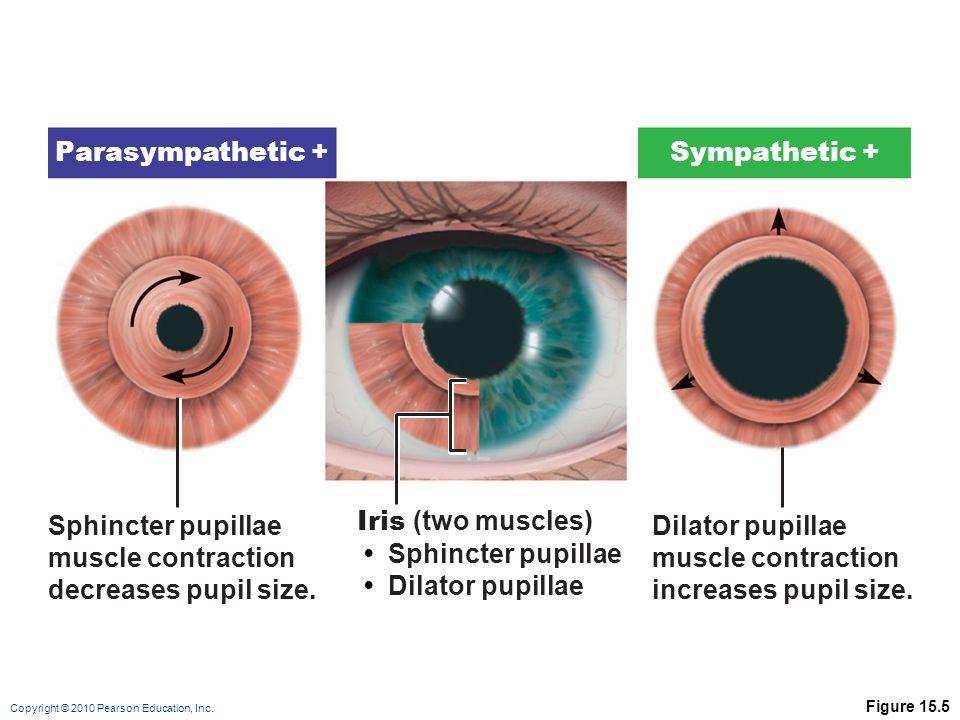 Copyright © 2010 Pearson Education, Inc. Figure 15.5 Iris (two muscles) Sphincter pupillae Dilator pupillae Sphincter pupillae muscle contraction decr
