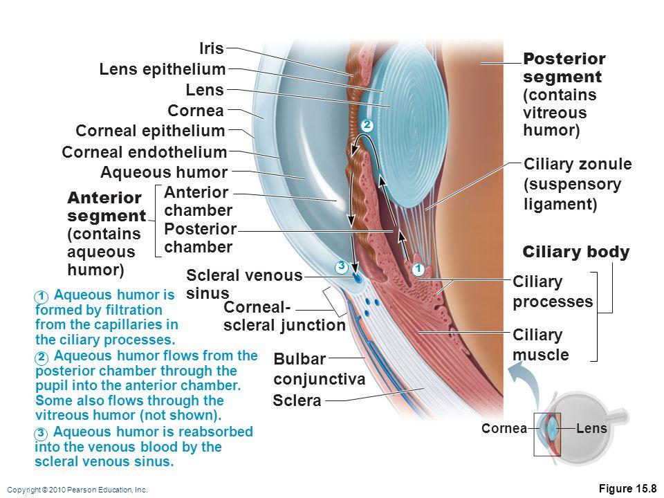 Copyright © 2010 Pearson Education, Inc. Figure 15.8 Sclera Bulbar conjunctiva Scleral venous sinus Posterior chamber Anterior chamber Anterior segmen