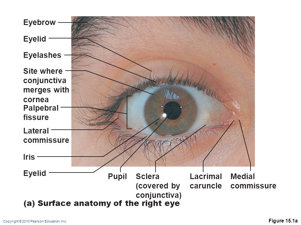 Copyright © 2010 Pearson Education, Inc. Figure 15.1a Eyelashes Sclera (covered by conjunctiva) Site where conjunctiva merges with cornea Lateral comm