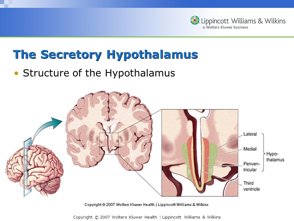 Copyright © 2007 Wolters Kluwer Health | Lippincott Williams & Wilkins The Secretory Hypothalamus Structure of the Hypothalamus