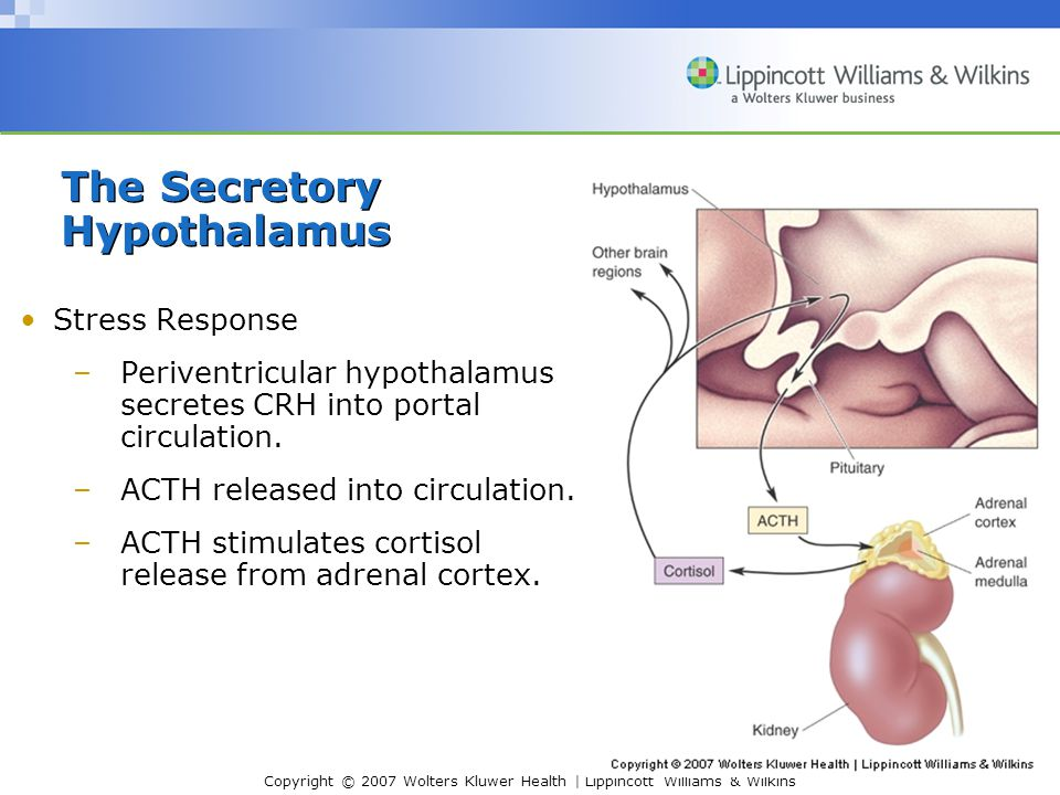Copyright © 2007 Wolters Kluwer Health | Lippincott Williams & Wilkins Stress Response –Periventricular hypothalamus secretes CRH into portal circulation.