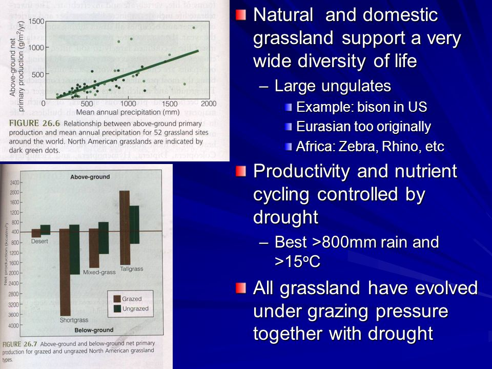 Natural and domestic grassland support a very wide diversity of life –Large ungulates Example: bison in US Eurasian too originally Africa: Zebra, Rhino, etc Productivity and nutrient cycling controlled by drought –Best >800mm rain and >15 o C All grassland have evolved under grazing pressure together with drought