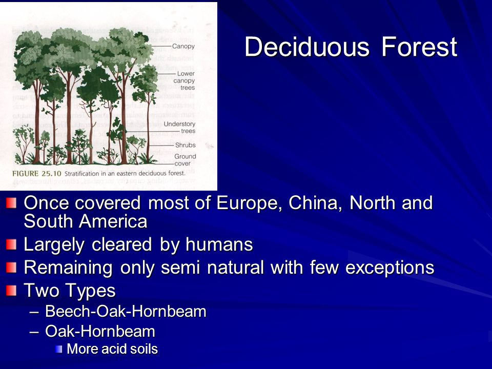Deciduous Forest Once covered most of Europe, China, North and South America Largely cleared by humans Remaining only semi natural with few exceptions Two Types –Beech-Oak-Hornbeam –Oak-Hornbeam More acid soils