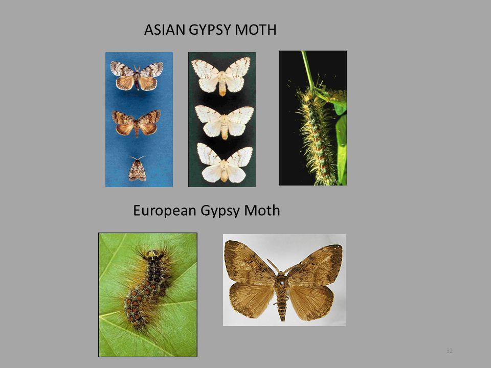 ASIAN GYPSY MOTH European Gypsy Moth 32