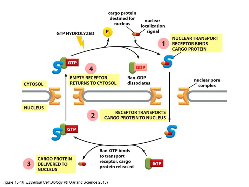 Figure 15-10 Essential Cell Biology (© Garland Science 2010)