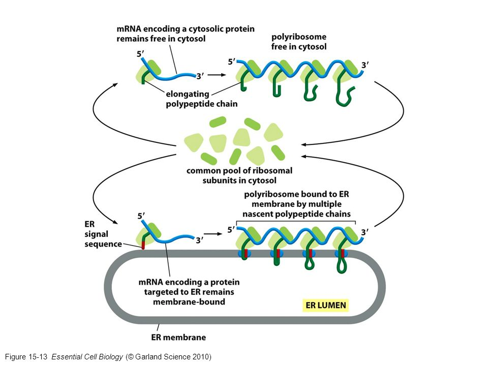 Figure 15-13 Essential Cell Biology (© Garland Science 2010)