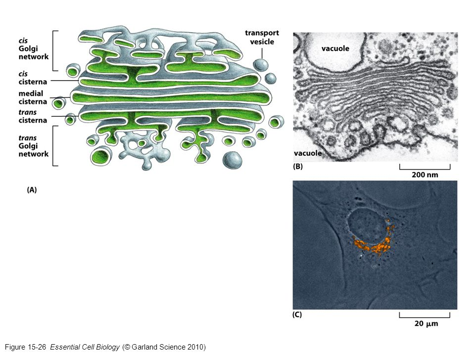 Figure 15-26 Essential Cell Biology (© Garland Science 2010)