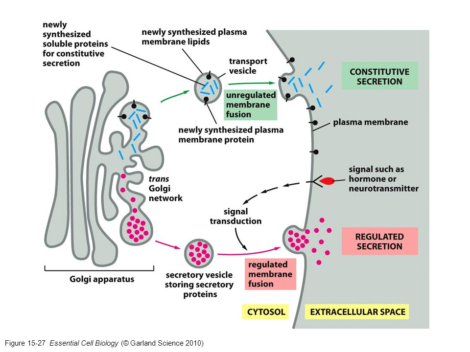 Figure 15-27 Essential Cell Biology (© Garland Science 2010)