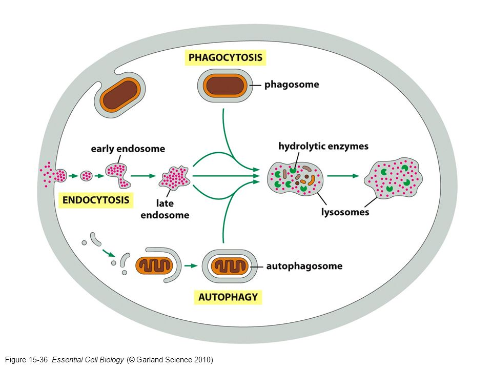 Figure 15-36 Essential Cell Biology (© Garland Science 2010)