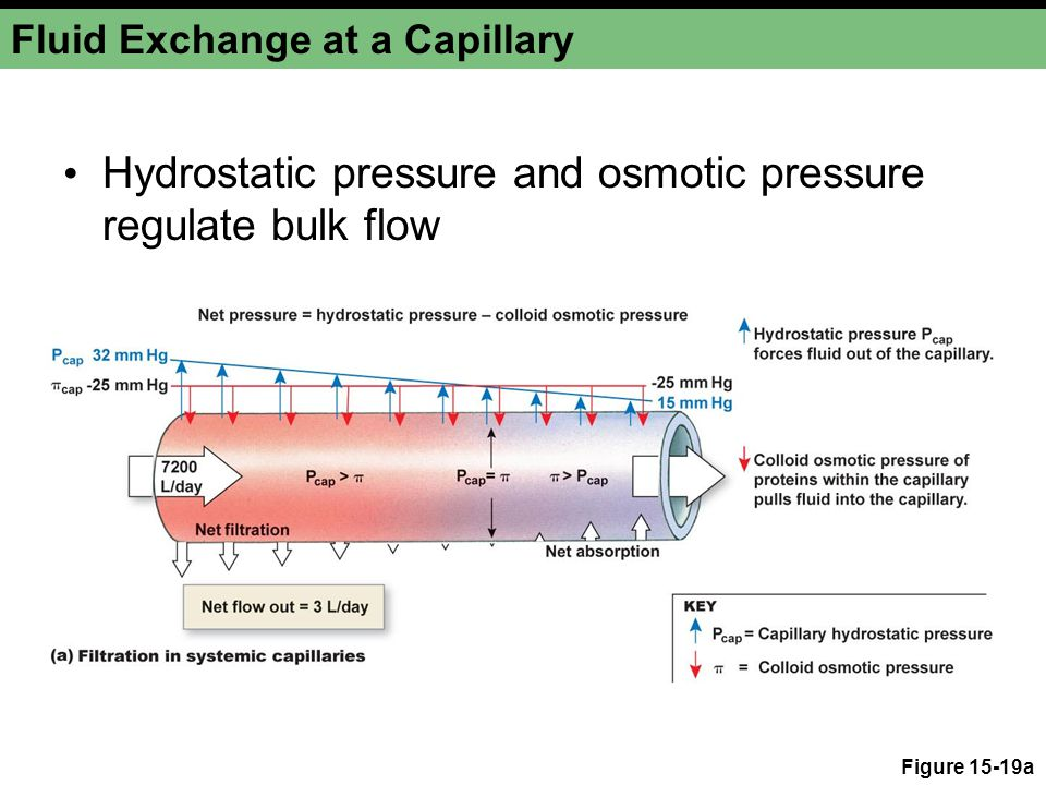 Fluid Exchange at a Capillary Hydrostatic pressure and osmotic pressure regulate bulk flow Figure 15-19a