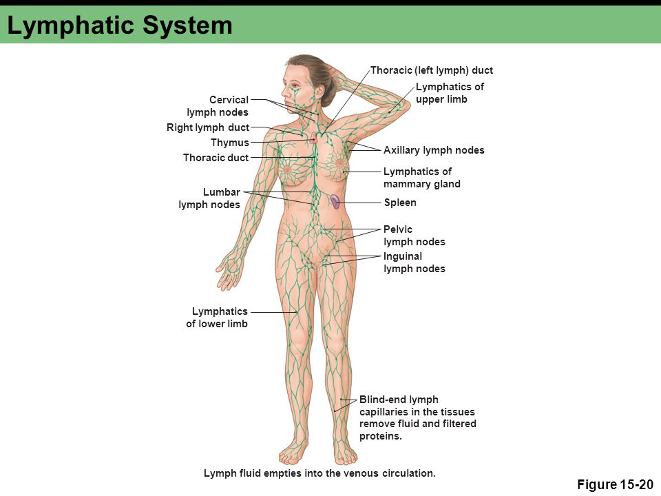 Lymphatic System Figure 15-20 Thoracic (left lymph) duct Axillary lymph nodes Lymphatics of mammary gland Spleen Pelvic lymph nodes Inguinal lymph nodes Thoracic duct Thymus Right lymph duct Cervical lymph nodes Blind-end lymph capillaries in the tissues remove fluid and filtered proteins.