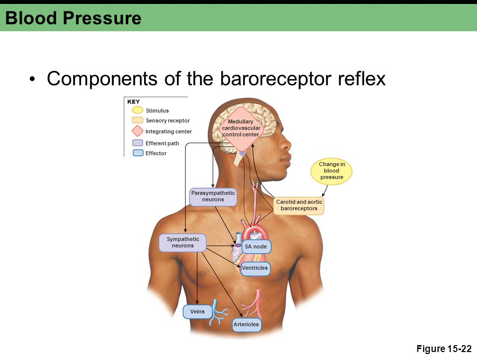 Blood Pressure Components of the baroreceptor reflex Figure 15-22 Medullary cardiovascular control center Carotid and aortic baroreceptors Change in blood pressure Parasympathetic neurons Sympathetic neurons Veins Arterioles Ventricles SA node Integrating center Stimulus Efferent path Effector Sensory receptor KEY