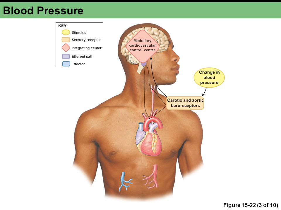 Medullary cardiovascular control center Carotid and aortic baroreceptors Change in blood pressure Integrating center Stimulus Efferent path Effector Sensory receptor KEY Blood Pressure Figure 15-22 (3 of 10)