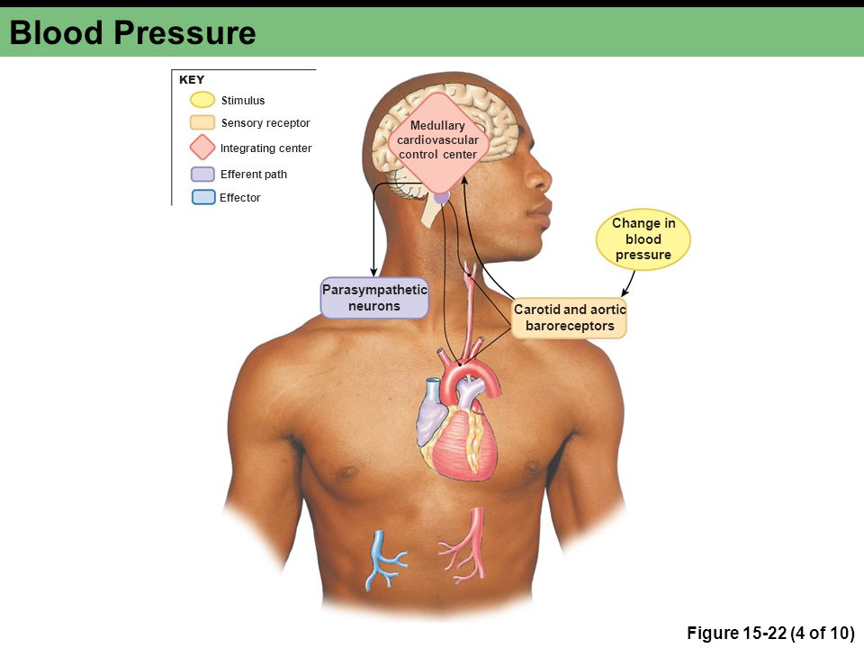 Medullary cardiovascular control center Carotid and aortic baroreceptors Change in blood pressure Parasympathetic neurons Integrating center Stimulus Efferent path Effector Sensory receptor KEY Blood Pressure Figure 15-22 (4 of 10)